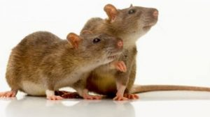 Rat Pest control leeds