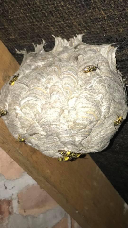 wasp nest in leeds