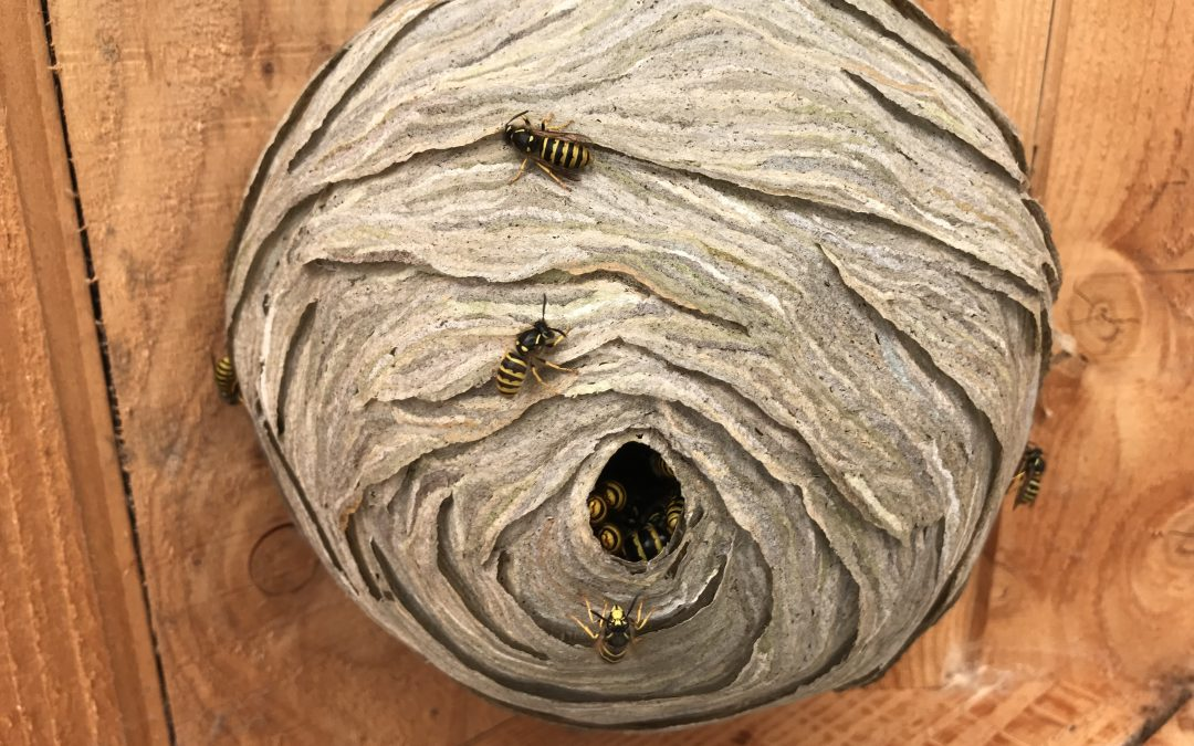 Get Rid of Wasps in Home & Backyard Using These Steps – Our Guide