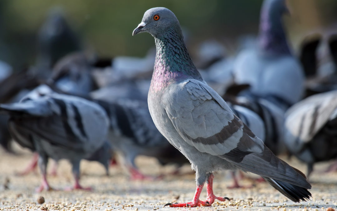 Problematic Pigeons in your property