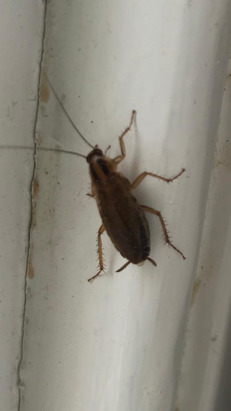 German Cockroach Leeds